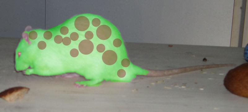 Rat léopard forêt standard lisse ! Rat_la10
