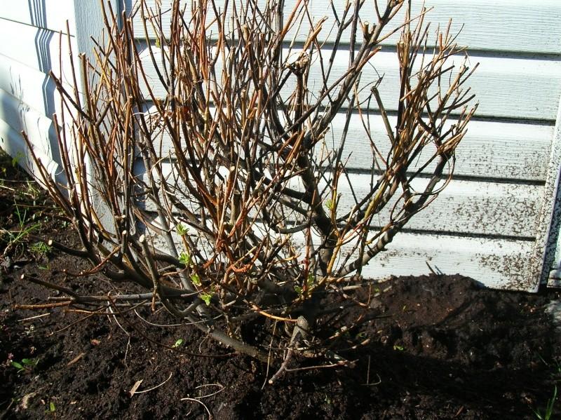 Je suis inquiète pour mon Salix Hakuro... Salix_13