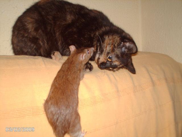 """les """"non-rats"""" de l'arche Asorti10"""