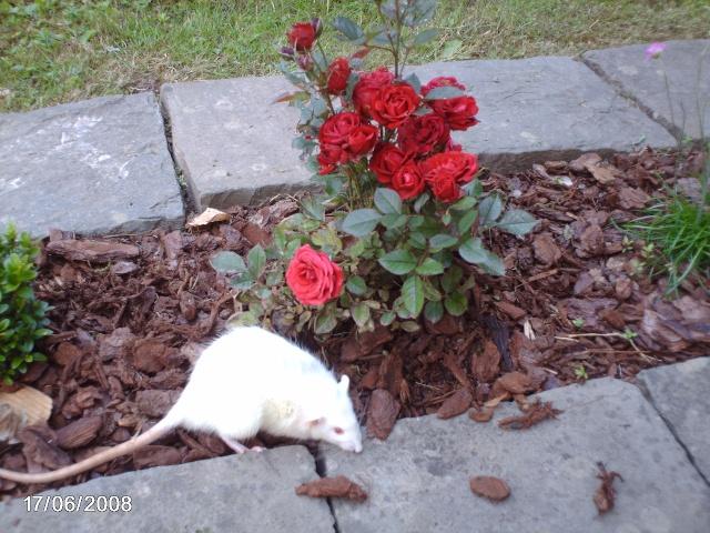 """Débat du mois de septembre : """"Sortir avec nos rats à l'extérieur ou pas? Citrou10"""