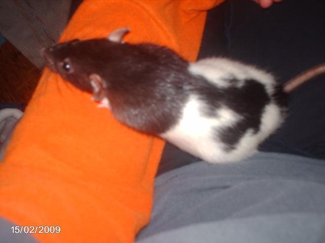 les rats de l'arche J21_ce11