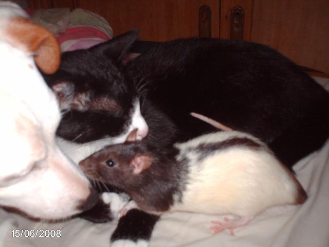 """Débat du mois de juillet : """"Le rat et les autres animaux"""" Yang_011"""