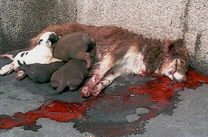 Chiens assassinés à Sarajevo ! (lettre + photo) IGNOBLE !!! Saraje10