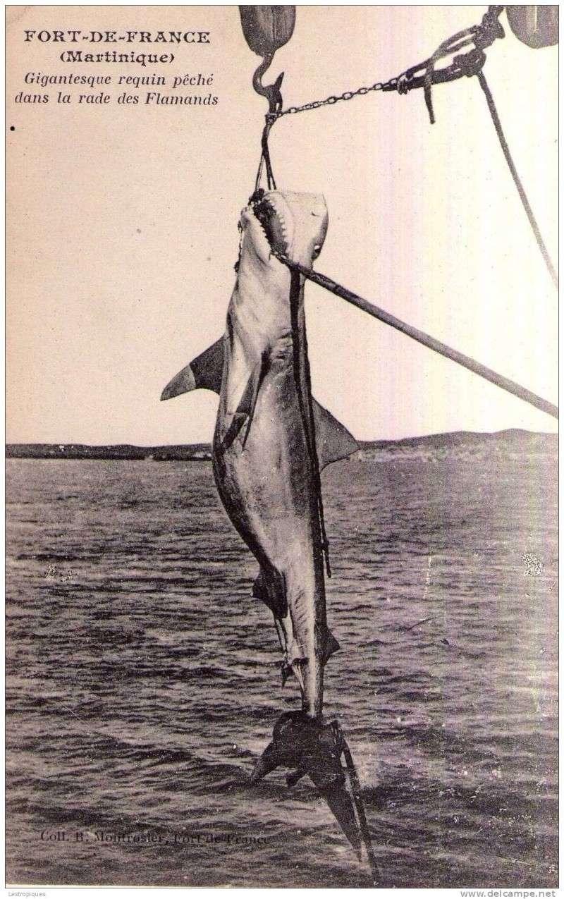 Spécial Minou Requin10