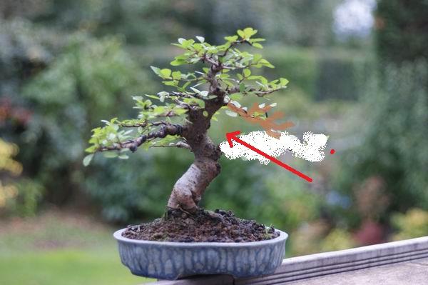 Histoire d'un petit orme de jardinerie Z20_oc10