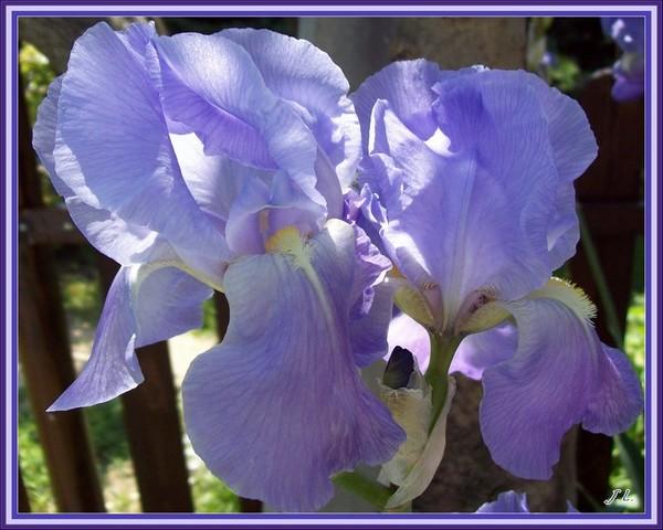 le printemps s'en vient - Page 2 Iris_v13