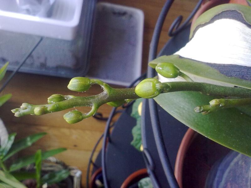 des nouvelles de mon orchidée malade 05042011
