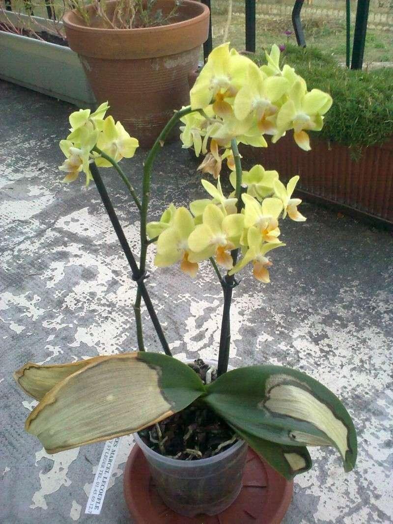 des nouvelles de mon orchidée malade 07092012