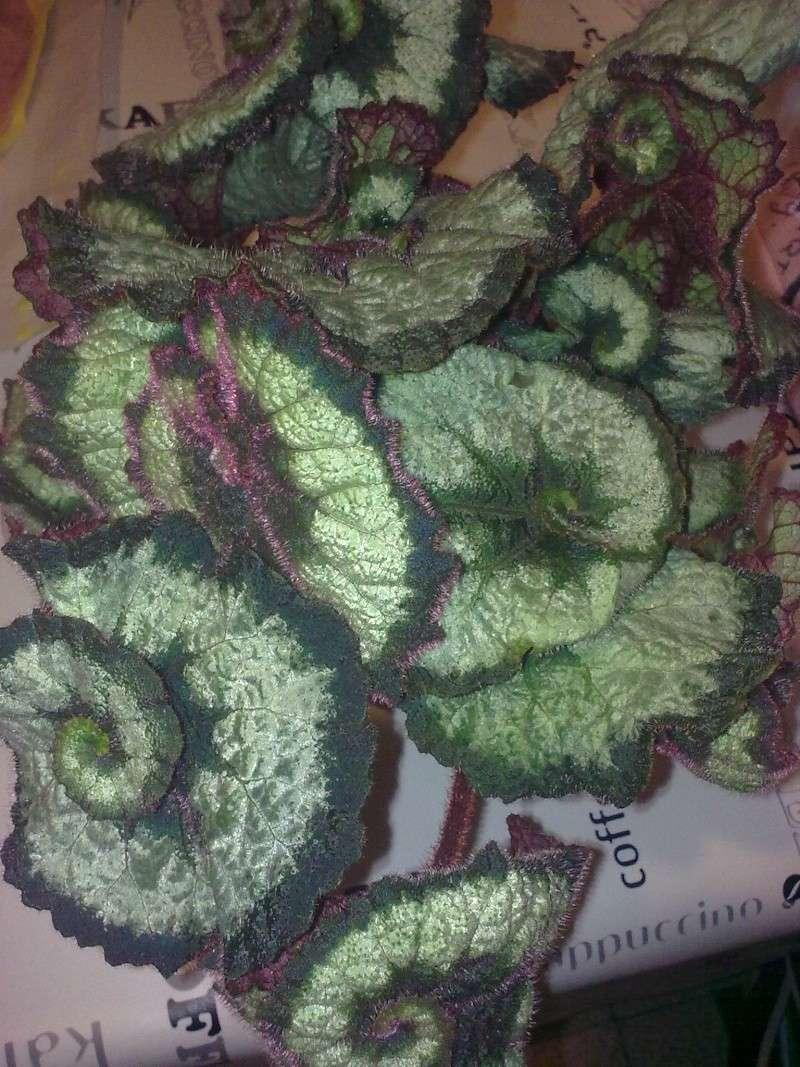 Begonia Rex 08042010