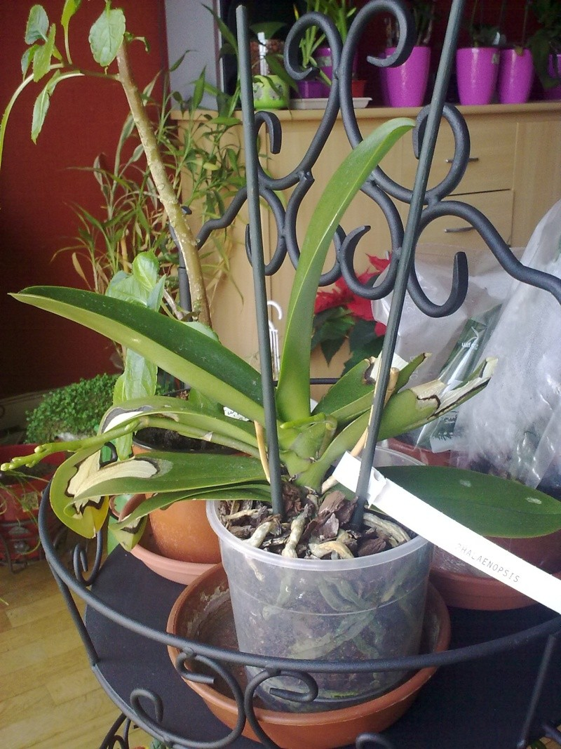 des nouvelles de mon orchidée malade 13032019