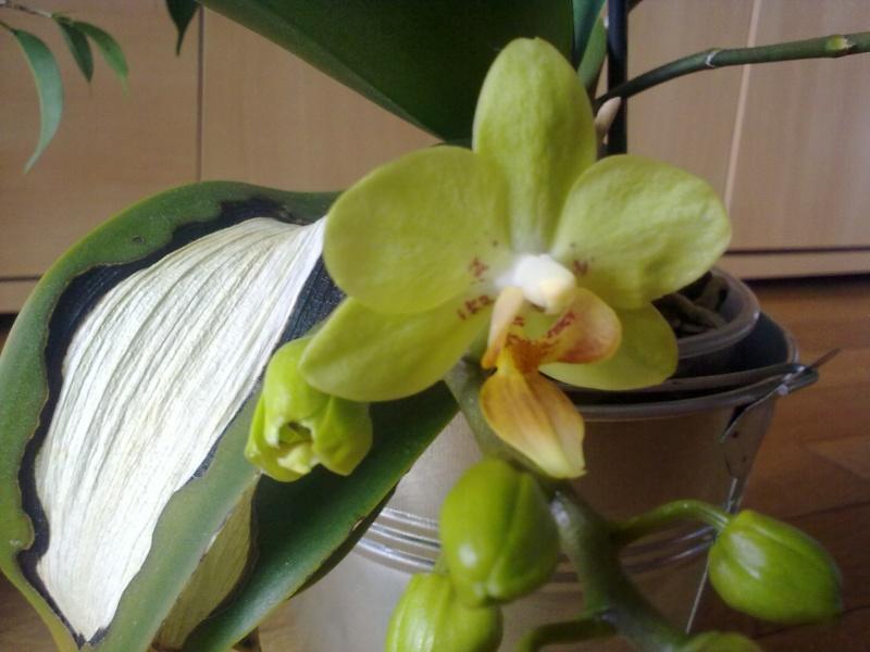 des nouvelles de mon orchidée malade - Page 2 23042010
