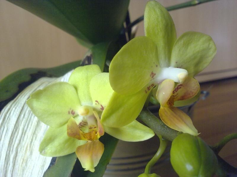 des nouvelles de mon orchidée malade - Page 2 25042010
