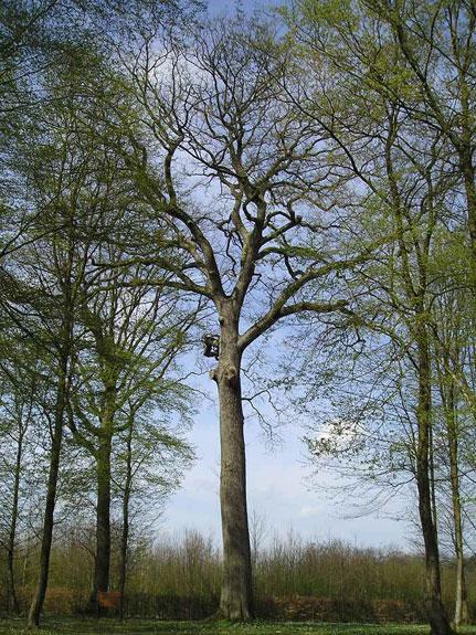 Chêne de l'Europe en forêt de St Gobain Chene_19