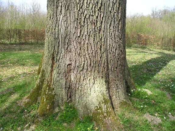 Chêne de l'Europe en forêt de St Gobain Chene_20
