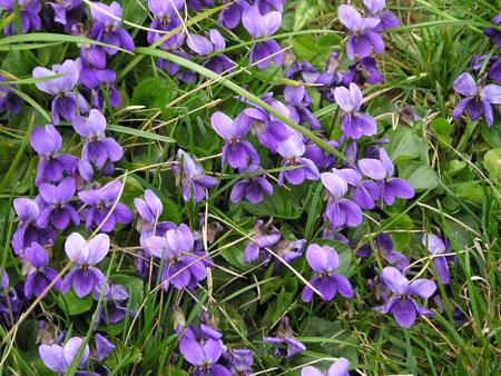 LE  PRINTEMPS Violet10