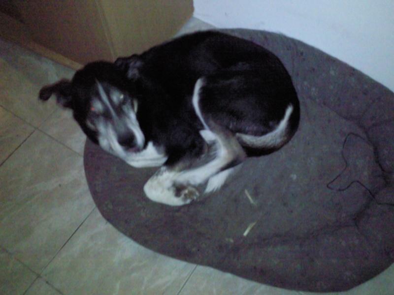 Bergson x husky mâle de 9 ans  ADOPTE Photo110