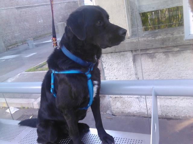 Tango, Croisé Labrador noir de 2 ans (castré) 1_111