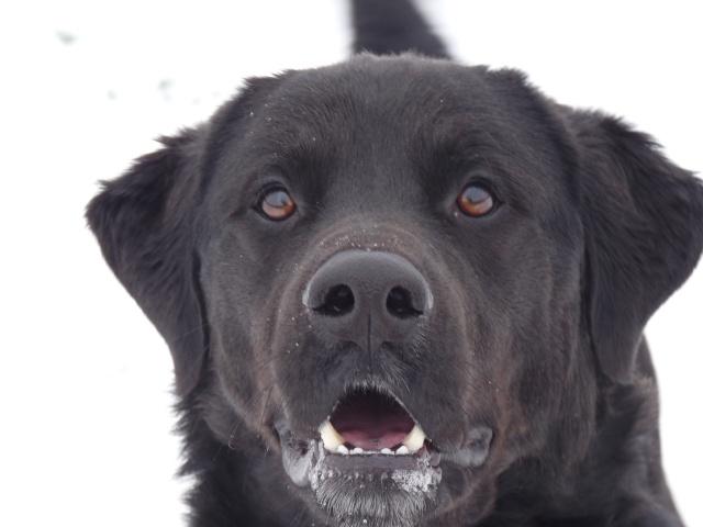 Tango, Croisé Labrador noir de 2 ans (castré) P1030127