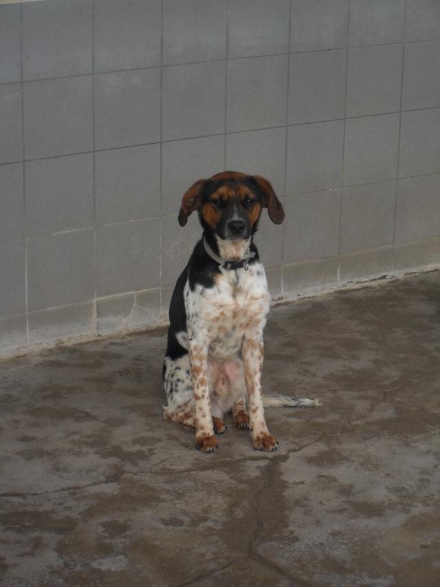 ALTO, croisé beagle/épagneul mâle, 1 an (80) Sdc10035
