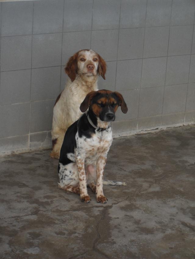 ALTO, croisé beagle/épagneul mâle, 1 an (80) Sdc10036