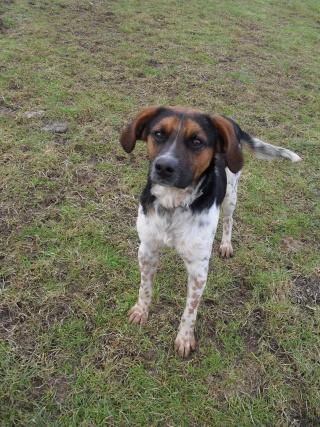 ALTO, croisé beagle/épagneul mâle, 1 an (80) Sdc10144
