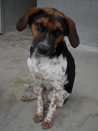 ALTO, croisé beagle/épagneul mâle, 1 an (80) Sdc10207