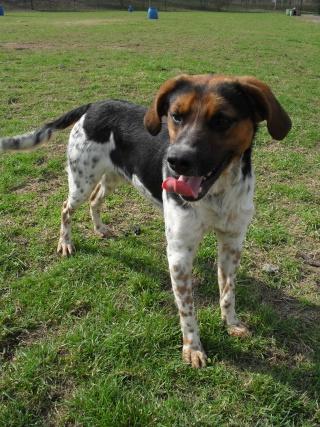 ALTO, croisé beagle/épagneul mâle, 1 an (80) Sdc10306