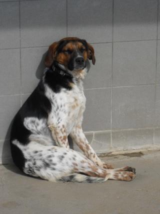 ALTO, croisé beagle/épagneul mâle, 1 an (80) Sdc10307