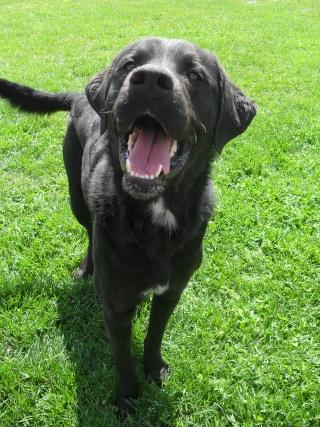 Tango, Croisé Labrador noir de 2 ans (castré) Sdc15232