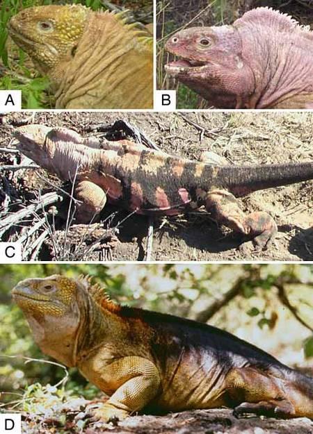 Un iguane rose découvert aux Galápagos intrigue les biologistes Iguane13