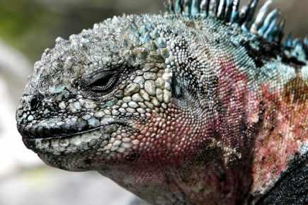 Unesco : les Îles Galapagos en péril !! Iguane14