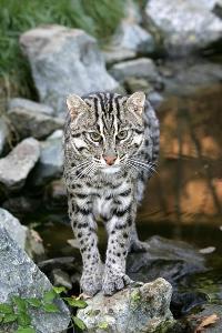 Le chat pêcheur est menacé de disparition. Lechat10
