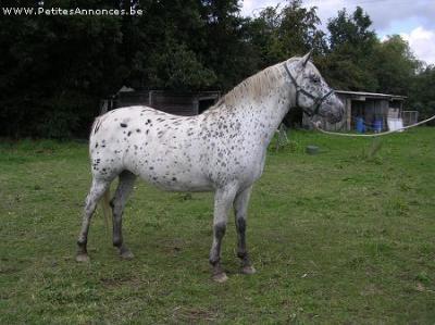 Comment avez vous rencontrer/acheter votre cheval? Nikita10