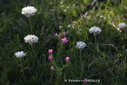 Herborisations en Israël et en Jordanie - Page 3 Allium10