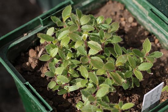 semis Arbutus andrachne Arbutu10