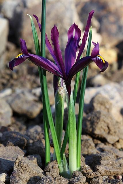 Iris réticulés 2009 Eos5dm16