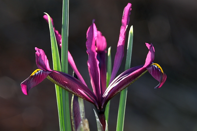 Iris réticulés 2009 Eos5dm17