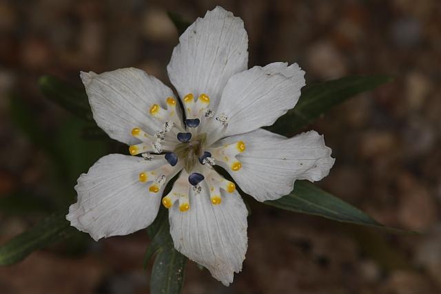 Eranthis pinnatifida Eos5dm21