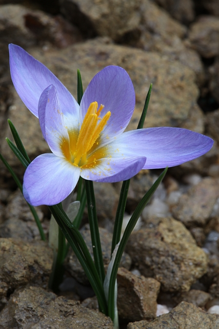 Crocus printemps 2009 Eos5dm24