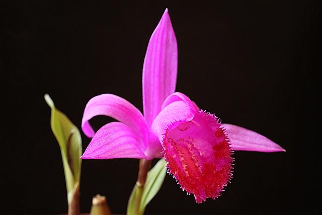 Pleione en fleur actuellement Eos5dm66