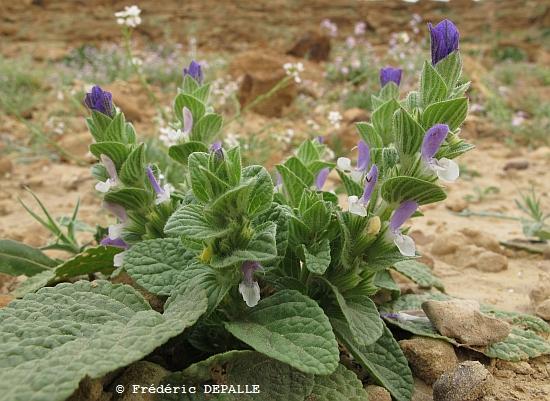 Herborisations en Israël et en Jordanie - Page 3 G11_im20