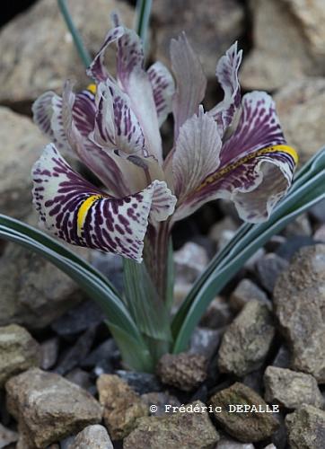 les iris Juno - Page 2 Iris_e10