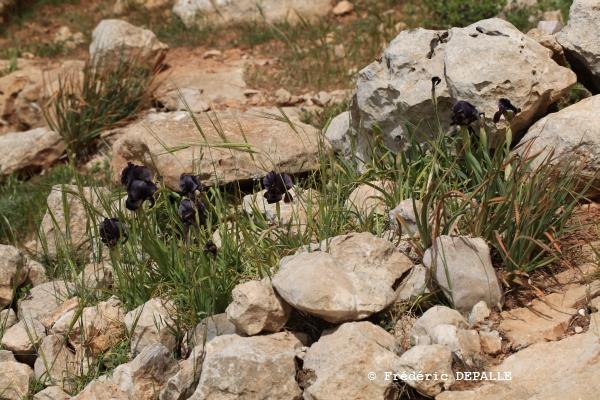 Herborisations en Israël et en Jordanie - Page 3 Iris_h18