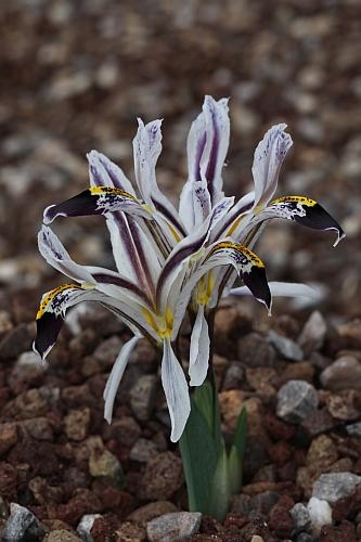 les iris Juno - Page 2 Iris_n12