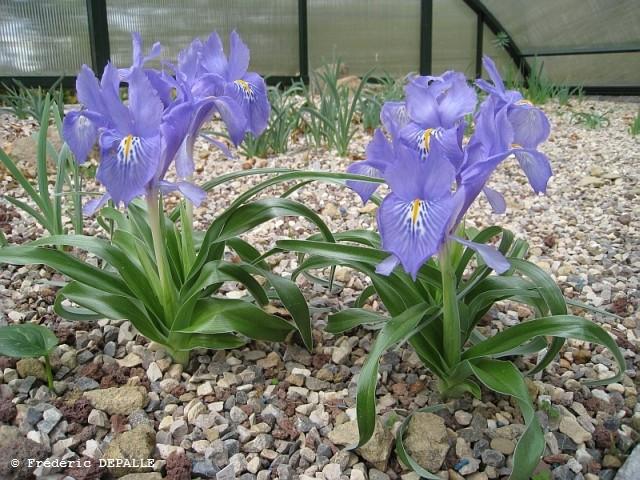 les iris Juno - Page 2 Iris_p12