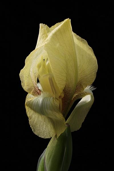 Le 1er iris barbu en fleur - Page 2 Iris_r12