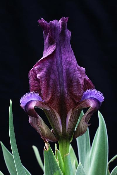 Le 1er iris barbu en fleur - Page 2 Iris_r14