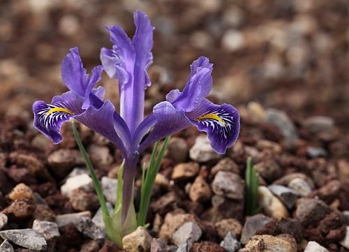 les iris Juno - Page 2 Iris_s14