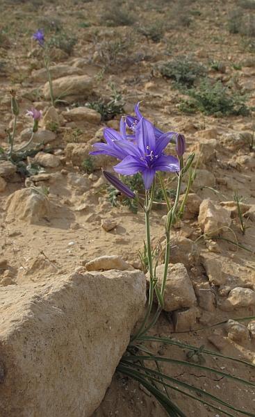 Herborisations en Israël et en Jordanie Ixolir10