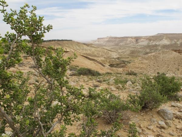 Herborisations en Israël et en Jordanie Negev210